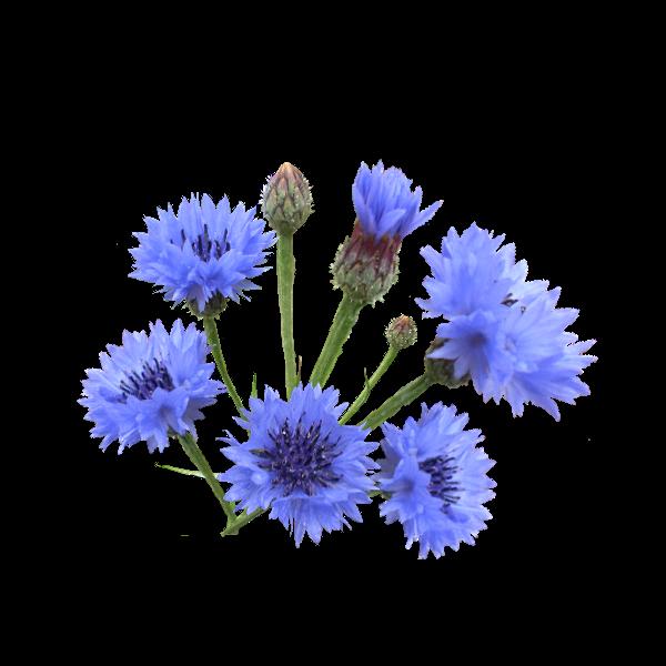 Картинка полевые цветы для детей на прозрачном фоне, открытке дню учителя