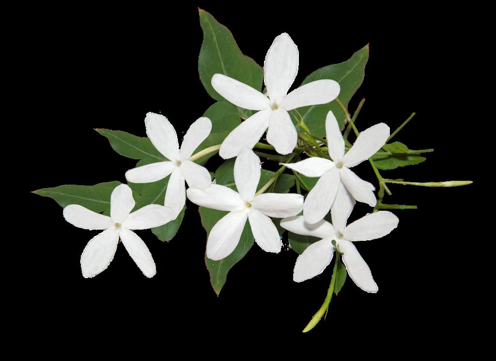Картинка жасмин на белом фоне