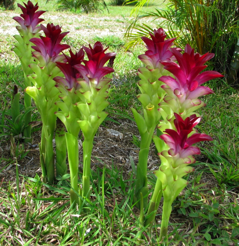 цветы куркума фото несмотря то, что